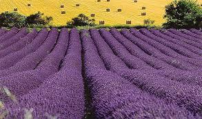 fields-of-lavender