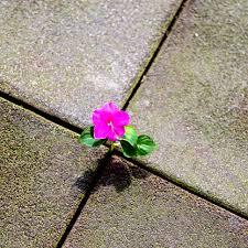 wildflower in pavement
